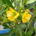 heimia-salicifolia