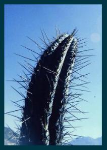 peruvianus-3