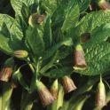 scopolia-carniolica